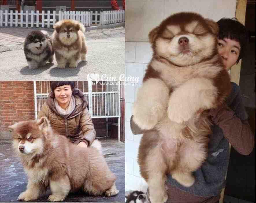 Chow Chow Husky Mix