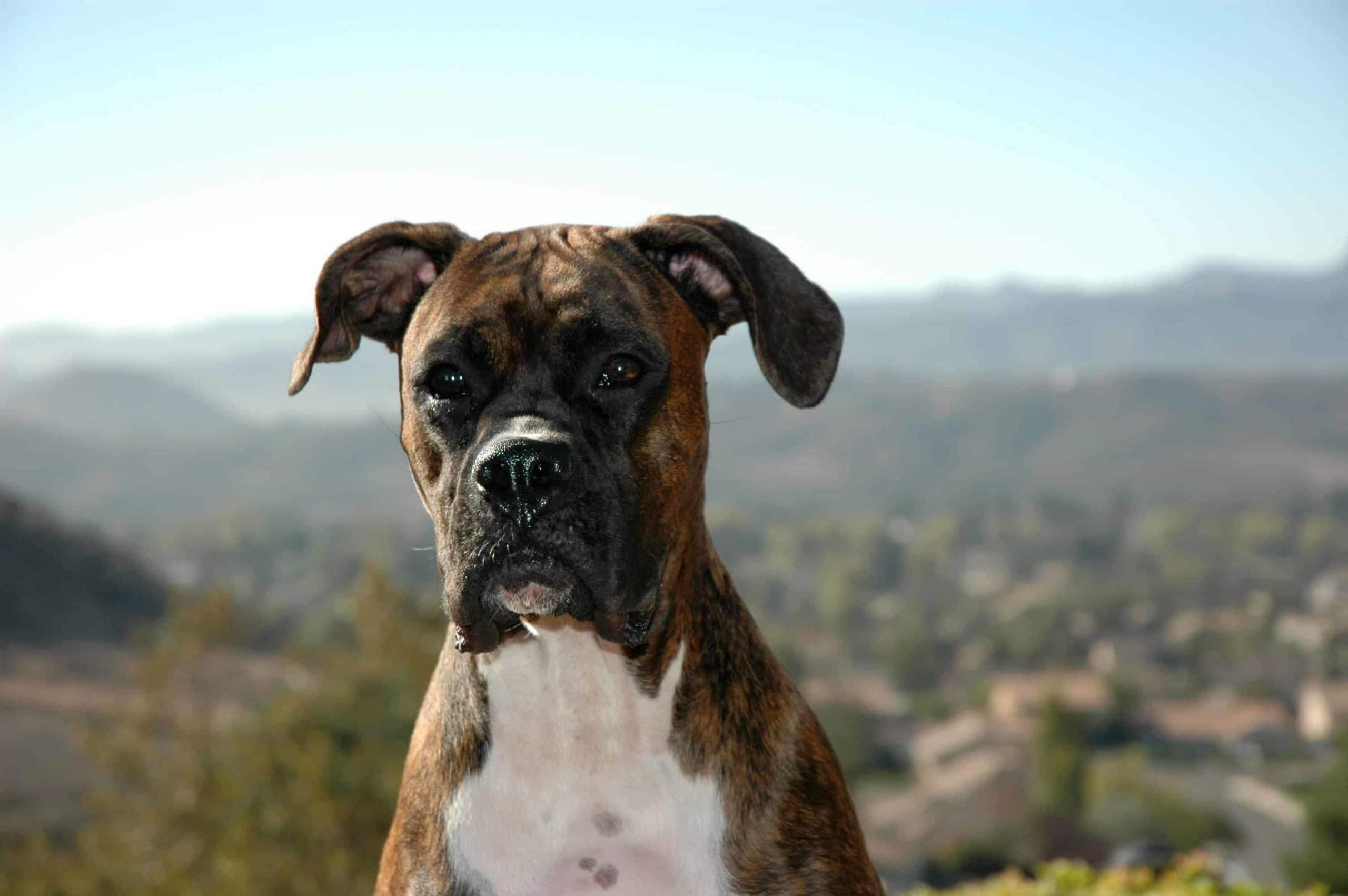 Boxer on hill