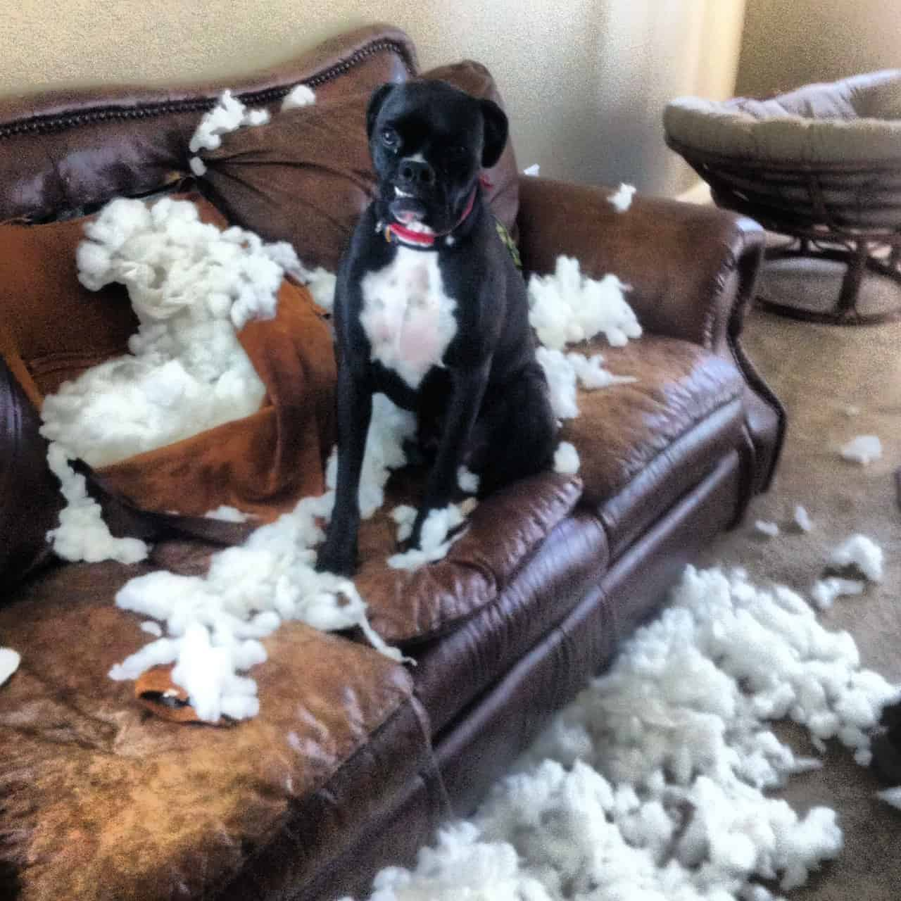 Boxer Couch Destroyed