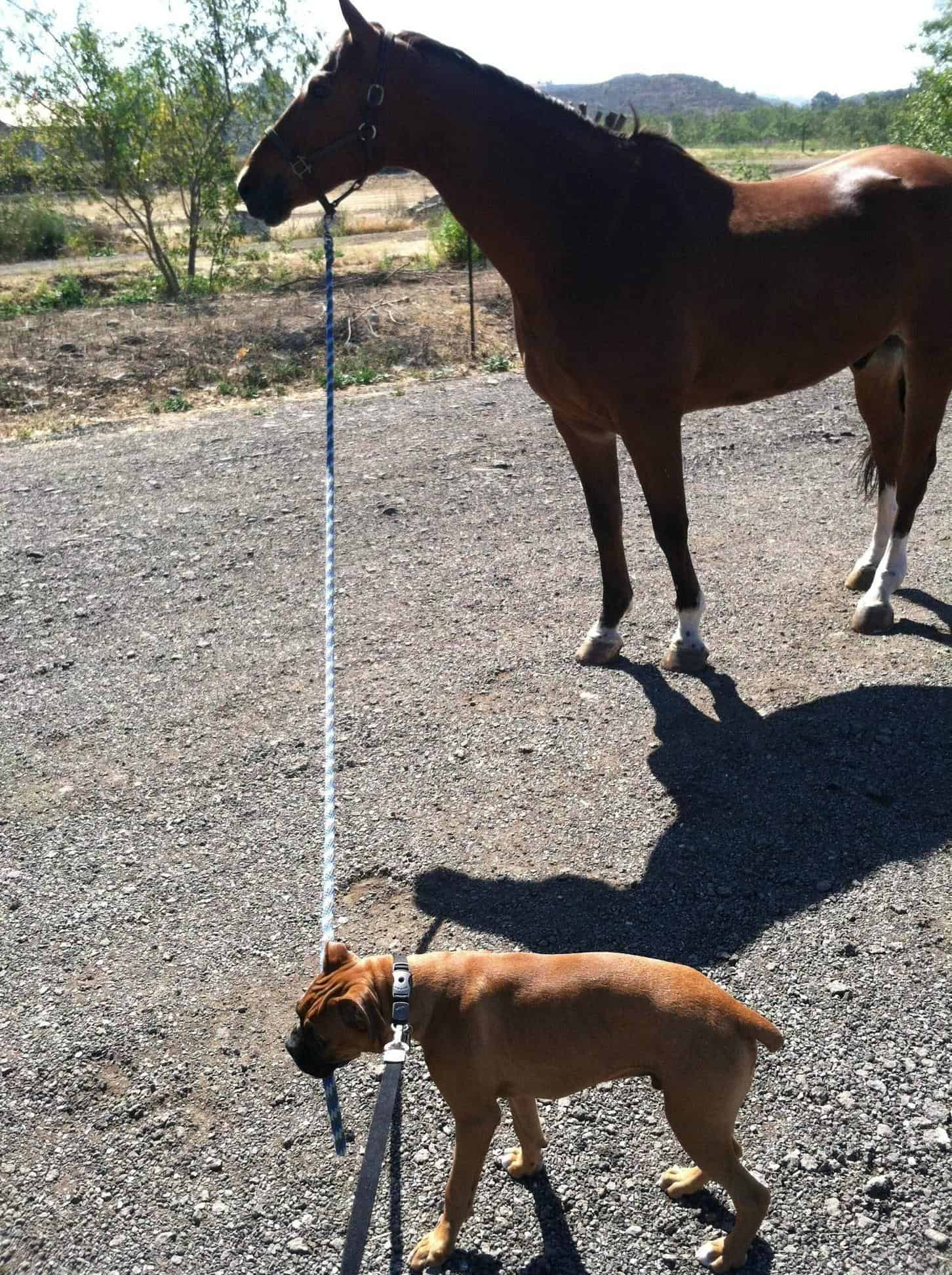 Boxer and Horse