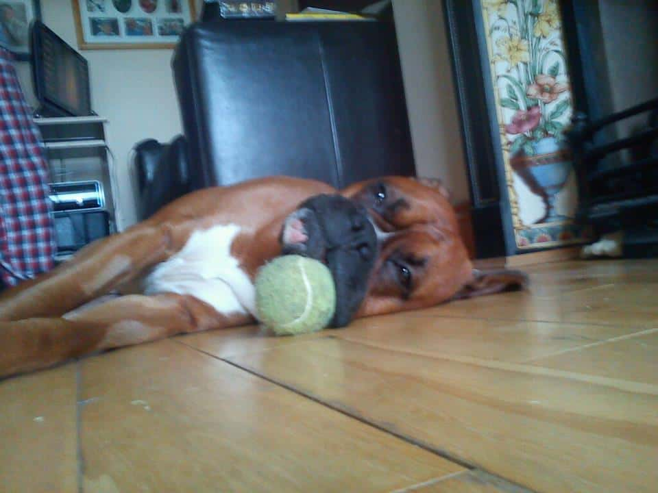 Boxer and Toy