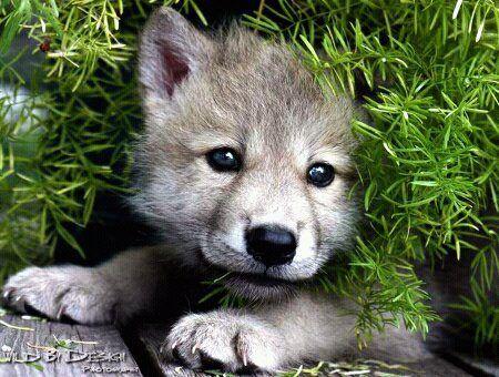 Timber Wolf Husky Mix
